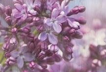 Lilacs / by Maria .