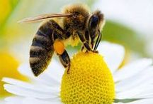 SaveBeesNow.org / Help save bees from toxic pesticides. Their lives are depending on it! Visit SaveBeesNow.org to take action. / by NRDC BioGems