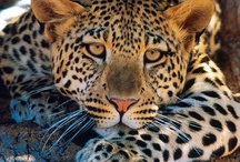 Leopard / by Wendy Perry