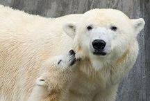 polar bears / by Jennifer