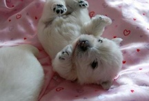 Westies / by Donna Miller