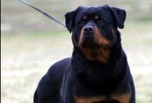 Rottweilers - Beautiful Dogs / by Bryan J. Beatty