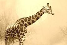 Giraffe's are awesome! / by Shannon Buckingham