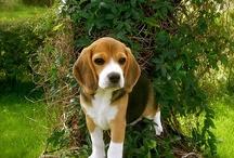 For the love of a Beagle / by raina ramirez