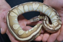 I'VE GOT BALLS ! / All about Ball pythons.... / by Sheri Dennison Cassino
