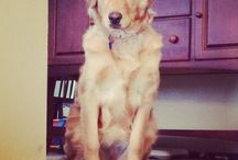 Goldendoodle  / by Brandy Holcomb Casto