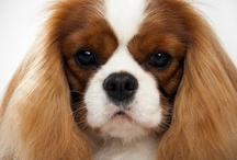 "Cavalier King Charles Spaniels / So how many of you look at your Cavaliers and tell them ""You are the most gorgeous dog in the world!!!"" ?      -       And.......you would be right! / by Sarah"