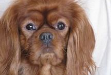 King Charles Cavaliers / dogs / by French Antiques