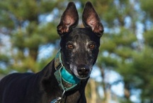 Greyt Love ~ Greyhounds / Greyhounds / by Karen Abosso