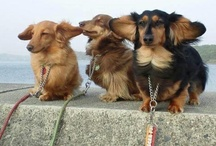 Doxies and other cute critters / by Cara Callaway-Lucier
