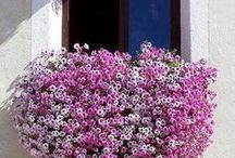 Flower boxes and Raised gardens, Hanging Baskets / by Susan Akers