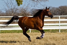 Arabian Horse / The Arabian or Arab horse is a breed of horse that originated on the Arabian Peninsula. A profile of the beautiful and versatile Arabian Horse. Learn about the characteristics, history and celebrities of the Arabian Horse breed. / by Maher Mashaal