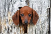 Doxies / by Traci Reid