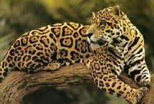Animals: Big Cats / The Felidae family contains two subfamilies; the subfamily felinae (cats that can not roar) includes the Cougar, Cheetah, Lynx, Ocelot, Jaguarundi, and other smaller cats.  The subfamily pantherinae (cats that can roar) includes the Lion, Tiger, Jaguar, and Leopard. / by Sherri Edwards