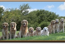 A Gaggle of Goldens!  / That's my word for a large group of Golden Retrievers !! / by The Daily Golden