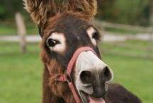 Mule's & Donkey's  / by Constance Brosnan