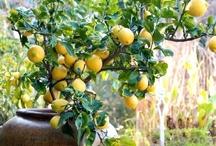 Lemon Obsession  / by Dawn Czech
