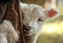 Lambs, I Love Lambs! / I couldn't help myself here.  You can see why... / by Lani Bixby