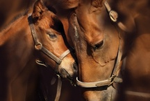 My Favorite Horses / I am partial to the Arabian breed. My baby.... Char Shalom (Peace) was my horse for about 5 years in Jr high and high school. High Spirited, strong, and muscular. They have the sweetest eyes, love there head shape. / by Sheri Zay (Hale)