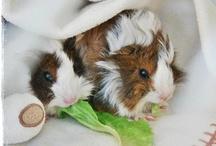 guinea pigs ♥  / by Nataša Žnidarič