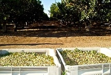 California Grown ARO Pistachios / ARO Pistachios are grown, harvested, and cultivated at our 600-acre orchards located in Terra Bella, California. Discover the colossal gourmet top-tier fancy grade pistachio nuts which are the top 1%--2% cream of the crop. / by ARO Pistachio