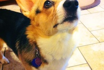 Corgis are the best dogs! / by Teresa Fisher