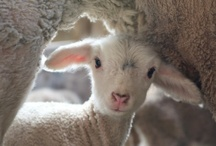 Lambs (For Abby) / by Karen Sheehan