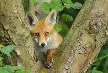 Animals - Foxes / by Marque (MarqueTodd.com)
