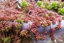 Sedum / by Drought Smart Plants