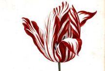 Tulips / by Armada Istanbul