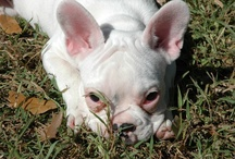 Love my Frenchie  Loads of personality / My love of French Bulldogs / by Linda Massing