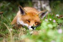 Foxes / by Jody Cummings