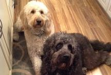 Goldendoodles and other Doodles / Oliver & Shadow My Beautiful Goldendoodles / by Chris Delaney