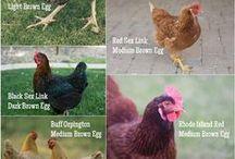 Farm - chickens & turkeys & ducks / chickens, turkeys, ducks / by Laura Fremont