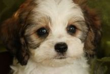 ⭐cavachons⭐ / by Julia ♡