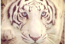 Eye of the TIGER / by Claudia Martinez