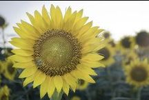 Sunflowers / Sunflower images, state flower / by KANSAS! Magazine