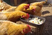 Backyard Chickens / Because we have lots of backyard chicken farming customers! / by McGuckin Hardware