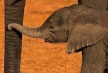I love Animals, mostly elephants!!!!!! / by Katy Hart