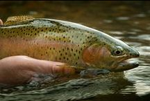 Fly fishing / Fly fishing tips, techniques, and places to fish.  / by Kevin Knight