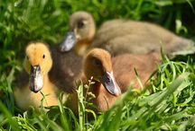 Raising Ducks / My family is raising ducklings for the first time. We have six right now.  We have a Khaki Campbell -m Two Anconas - a male and female A Golden Layer- f A Cayuga- f And an Indian runner- f   / by Tracy Jones
