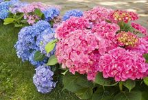 hydrangea beauty2.... / by Sandi White Thomas