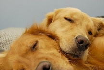 Goldens and things I LOVE / Love Goldens and all dogs,animals, life! The Beatles especially Paul McCartney, SU Basketball, happy thoughts,quotes, Love life! / by Patricia Mosch