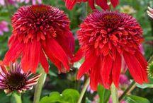 Echinacea/Coneflower / by Catherine Wadhams