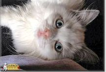 Ragdoll Cats / Ragdoll Cats that have been Cat of the Day! Ragdoll cats - the real cat breed, not toys made from rags - featured on CatoftheDay.com! Some are kittens, some are cats, some are rescues, all are loved kitties! / by Cat of the Day