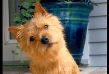 Norwich Terriers & Their Names / by NinaLaurence