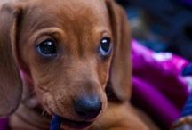 Doxies! / by Megan