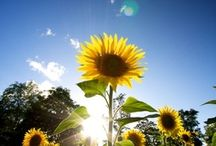 iFred | Sunflowers / by IFred
