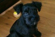 Definitely...doggy / All things Miniature Schnauzer and puppy related / by Sarah Knight