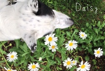 daisy face / My dog, Daisy, and things that look like her or make me think of her. / by Tara McCraw Lutz